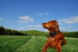 Irish Setter, 2.5 years, Red